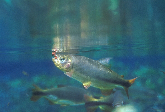 Importance Of Freshwater Fishes Iucn Freshwater Fish Specialist Group